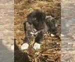 Puppy 9 Anatolian Shepherd