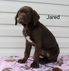 View Ad German Shorthaired Pointer Puppy For Sale Ohio