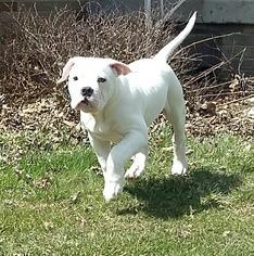 American Bulldog Puppy For Sale in CHEBANSE, IL, USA