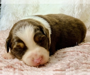 Australian Shepherd Puppy for Sale in GEORGETOWN, Texas USA