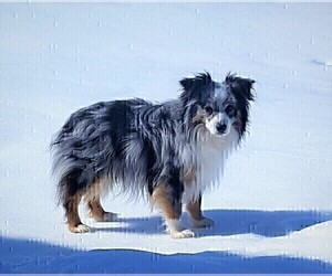 Father of the Miniature American Shepherd puppies born on 08/25/2020
