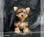 Puppy 14 Yorkshire Terrier