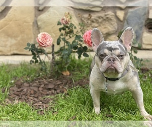 Father of the French Bulldog puppies born on 03/22/2021