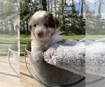 Puppy 4 Australian Shepherd