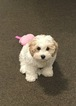 Cockapoo Puppy For Sale in MORRISVILLE, VT, USA