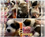 Puppy 9 Saint Bernard