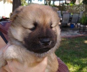 Puppyfinder Com Chow Chow Puppies Puppies For Sale Near Me In
