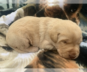 Labradoodle Puppy for sale in DIALVILLE, TX, USA
