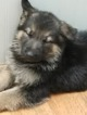 AKC Registered German Shepherd Puppy