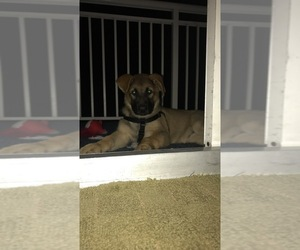 German Shepherd Dog Puppy for sale in FLUSHING, NY, USA