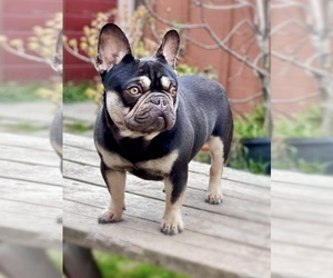 Father of the French Bulldog puppies born on 03/11/2021