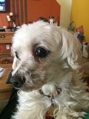 Claire - Maltese (medium coat) Dog For Adoption