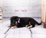 Small #3 German Shepherd Dog-Wolf Hybrid Mix