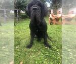 Small #17 Neapolitan Mastiff