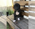 Puppy 1 Great Dane