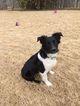 Australian Shepherd Puppy For Sale in HORN LAKE, MS, USA