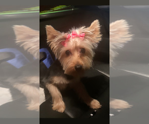 Yorkshire Terrier Puppy for sale in BRONX, NY, USA