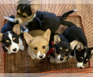 Pembroke Welsh Corgi Puppy for Sale in SOUTH POINT, Ohio USA