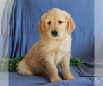 Small #4 Golden Retriever