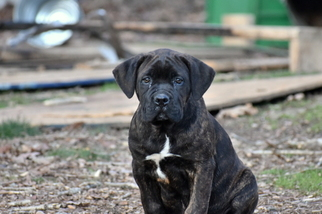 Cane Corso Puppy for sale in RICHMOND, VA, USA