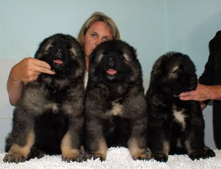 Russian Caucasian Mountain Dog Puppies For Sale In Ireland