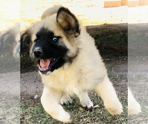 Caucasian Shepherd Dog Puppy for Sale in MESA, Arizona USA