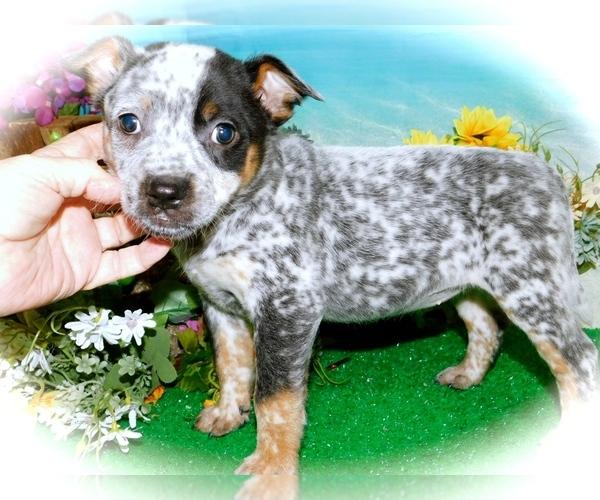 Medium Photo #4 Australian Cattle Dog Puppy For Sale in HAMMOND, IN, USA