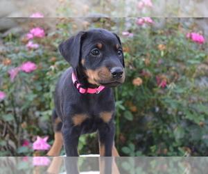 Doberman Pinscher Dog for Adoption in NILES, Michigan USA