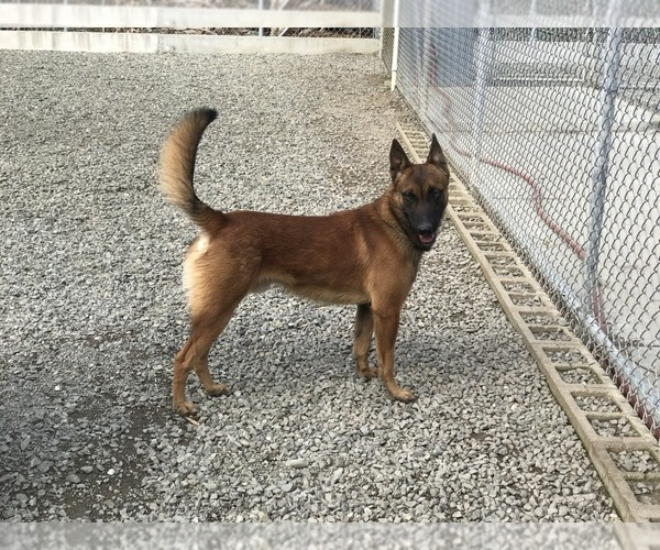 Medium Photo #1 Belgian Malinois Puppy For Sale in VACAVILLE, CA, USA