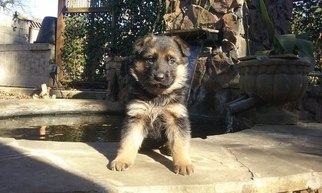 German Shepherd Dog Puppy For Sale in ANDERSON, SC, USA