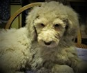 Poodle Pup  Cream Female 850  for sale  Milwaukee