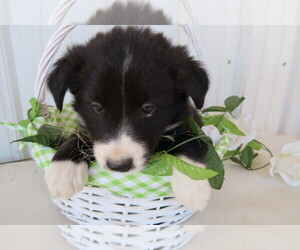Border Collie Puppy for sale in HUDSON, MI, USA