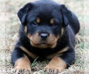 Rottweiler Puppy for sale in KALAMAZOO, MI, USA