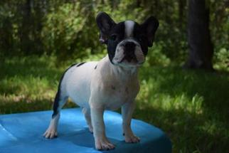 French Bulldog Puppy for sale in HASTINGS, FL, USA