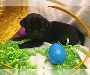 Pug Puppy for Sale in BRIDGEWATER, Virginia USA
