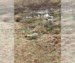 Small #7 Anatolian Shepherd