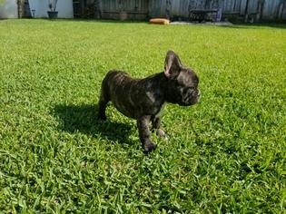 French Bulldog Puppy For Sale in COLTON, CA