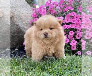 Chow Chow Puppy for Sale in NORTH WEBSTER, Indiana USA