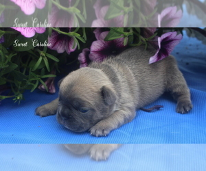 French Bulldog Puppy for sale in COLONIAL BCH, VA, USA