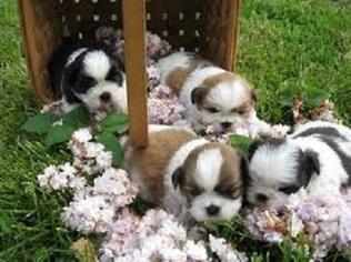 Shih Tzu Dog For Adoption in SAINT MARYS, KS, USA