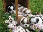 Shih Tzu Dog For Adoption in SAINT MARYS, KS