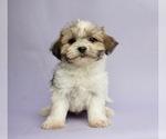 Puppy 12 Morkie