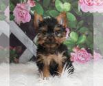 Puppy 10 Yorkshire Terrier