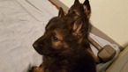 Small #8 German Shepherd Dog