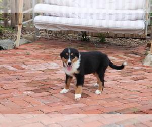 Medium Bernese Mountain Dog-Collie Mix