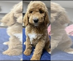 Small #5 Goldendoodle-Poodle (Standard) Mix