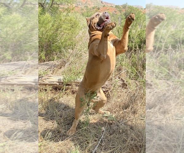 Medium Photo #17 Cane Corso Puppy For Sale in AMARILLO, TX, USA