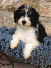 View Ad: Aussiedoodle Puppy for Sale near Texas, AZLE, USA  ADN-68811