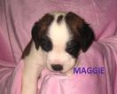 Saint Bernard Puppy For Sale in ESSEX, IA, USA