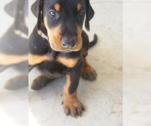 Doberman Pinscher Puppy for Sale in FRUITLAND PARK, Florida USA